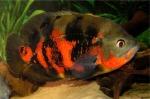 Astronotus ocellatus Red Tiger