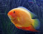C. severum Red spotted